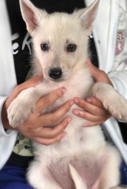 ホワイトシェパードドッグ 仔犬 ブリーダー