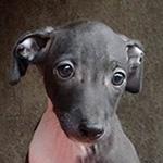 イタリアングレーハウンドの子犬 ブリーダー 子犬専門 AngelWan 横浜