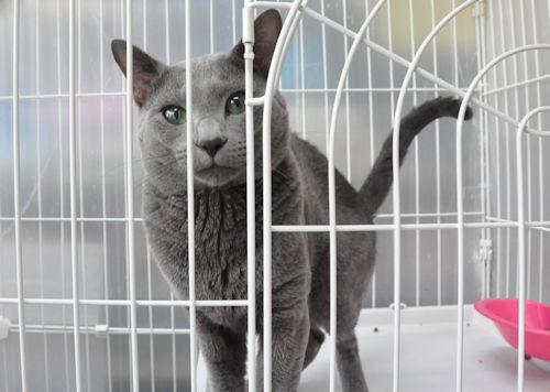 パパ猫 ロシアンブルー ブリーダー