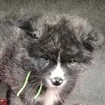 秋田犬の子犬 ブリーダー 子犬専門 AngelWan 横浜