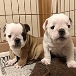 ブルドッグの子犬 ブリーダー 子犬専門 AngelWan 横浜