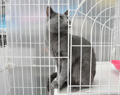 ブリーダー 子猫販売 人気 ロシアンブルー