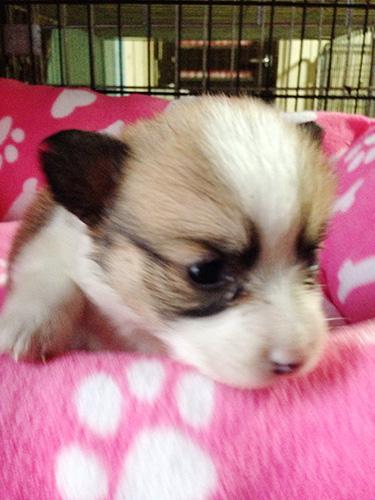 ミックスの子犬の子犬 ブリーダー 子犬専門 AngelWan 横浜