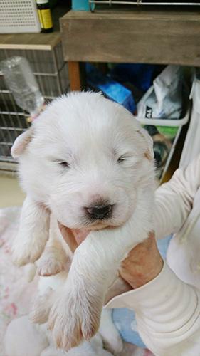 グレートピレニーズの子犬