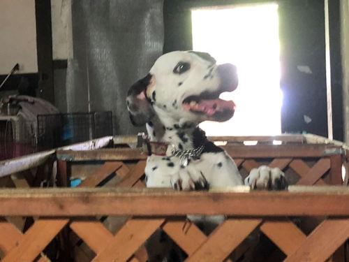 母犬 ダルメシアン ブリーダー 子犬販売の専門店 AngelWan 横浜