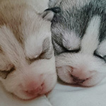 シベリアンハスキーの子犬 ブリーダー 子犬専門 AngelWan 横浜
