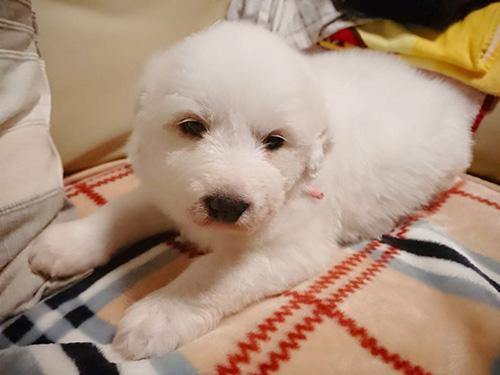 グレートピレニーズの子犬 ブリーダー 子犬専門 AngelWan 横浜