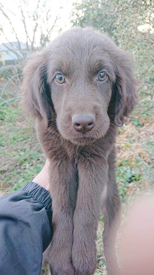 フラットコーテッドレトリバーの子犬 ブリーダー 子犬専門 AngelWan 横浜