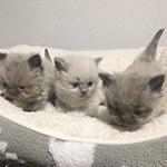 ヒマラヤンの子猫 AngelWan 横浜