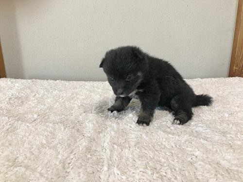 豆柴の子犬 ブリーダー 子犬専門 AngelWan 横浜