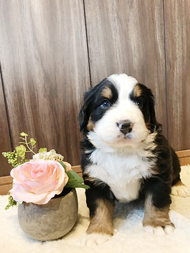 バーニーズマウンテンドッグの子犬 ブリーダー 子犬専門 AngelWan 横浜