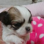チワワの子犬 ブリーダー 子犬専門