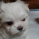 マルチーズの子犬 ブリーダー 子犬専門 AngelWan 横浜