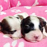 パピヨンの子犬 ブリーダー 子犬専門 AngelWan 横浜