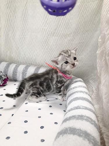アメリカンショートヘアーの子猫 ブリーダー 子犬専門 AngelWan 横浜