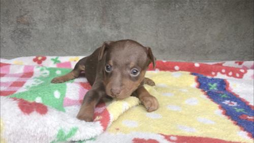 ミニチュアピンシャーの子犬 ブリーダー 子犬専門 AngelWan 横浜