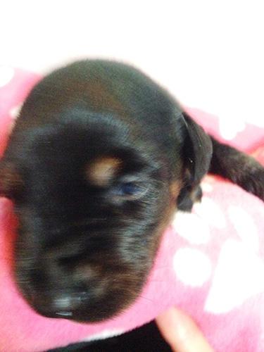 ドーベルマンの子犬 ブリーダー 子犬専門 AngelWan 横浜