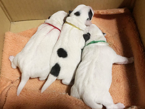 ジャックラッセルテリアの子犬 ブリーダー 子犬専門 AngelWan 横浜