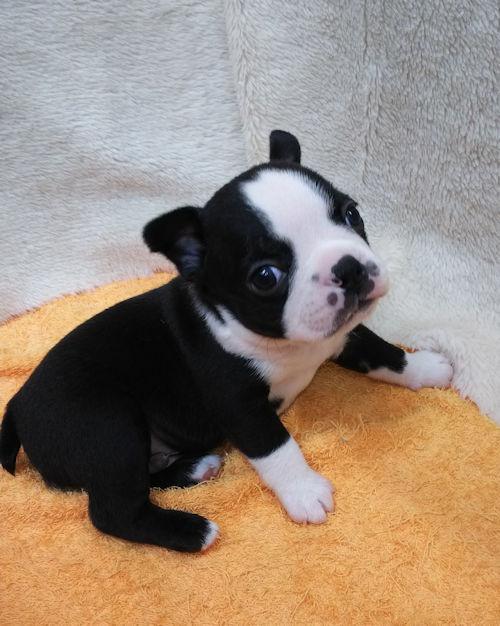 ボストンテリア PUPPY DOG