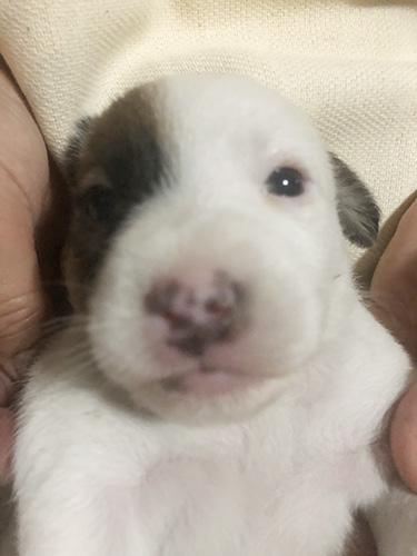 イングリッシュコッカースパニエルの子犬 ブリーダー 子犬専門 AngelWan 横浜v
