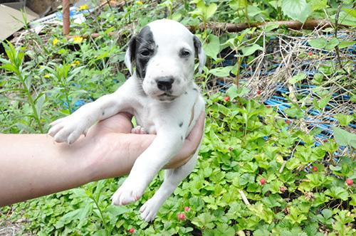 ダルメシアンの子犬 ブリーダー 子犬専門 AngelWan 横浜