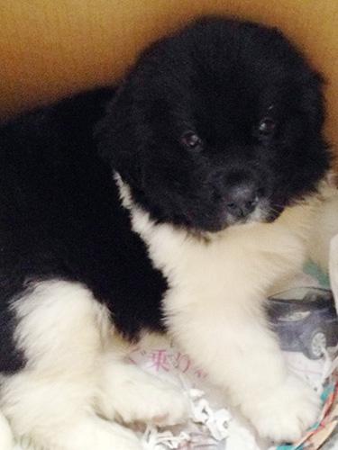 ニューファンドランドの子犬 ブリーダー 子犬専門 AngelWan 横浜