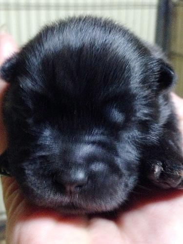 チャウチャウの子犬 ブリーダー 子犬専門 AngelWan 横浜