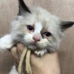 ラグドールの子猫 ブリーダー 子犬専門 AngelWan 横浜