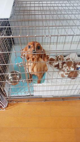 キャバリアキングチャールズスパニエルの子犬 ブリーダー 子犬専門 AngelWan 横浜