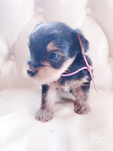 ヨークシャーテリアの子犬 ブリーダー 子犬専門 AngelWan 横浜
