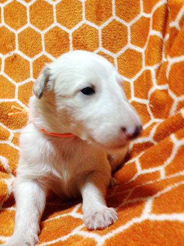 ボルゾイの子犬 ブリーダー 子犬専門 AngelWan 横浜