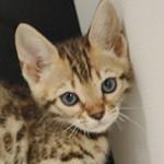 ベンガルの子猫 ブリーダー AngelWan 横浜