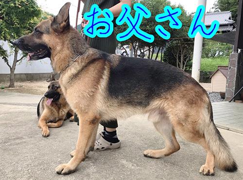ジャーマンシェパードドッグの子犬 ブリーダー 子犬専門 AngelWan 横浜