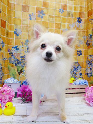 ミックスの子犬 ブリーダー 子犬専門 AngelWan 横浜
