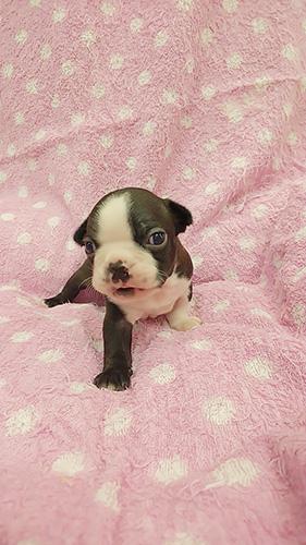 ボストンテリアの子犬 ブリーダー 子犬専門 AngelWan 横浜