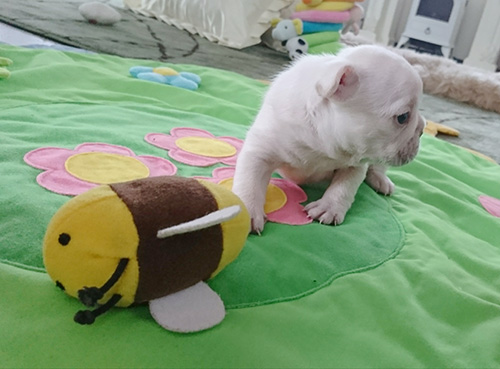 フレンチブルドッグの子犬 ブリーダー 子犬専門 AngelWan 横浜