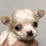 チワワの子犬 ブリーダー 子犬専門 AngelWan 横浜