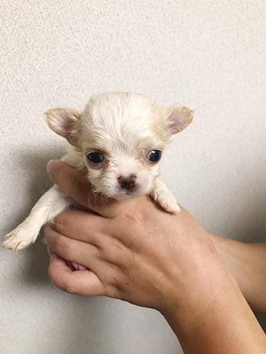 チワワの子犬 ブリーダー 子犬専門 AngelWan 横浜 彦坂さん、こんにちは!