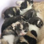 スコティッシュフォールドの子猫 ブリーダー 子犬専門 AngelWan 横浜