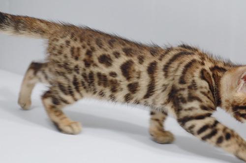 ベンガルの子猫 ブリーダー 子犬専門 AngelWan 横浜
