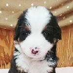 バーニーズマウンテンドッグの子犬