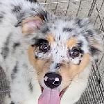 オーストラリアンシェパードの子犬 ブリーダー 子犬専門 AngelWan 横浜