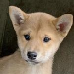 柴犬の子犬 ブリーダー 子犬専門 AngelWan 横浜