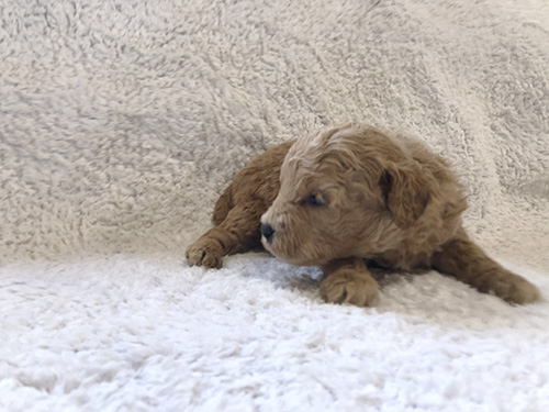 トイプードルの子犬 ブリーダー 子犬専門 AngelWan 横浜