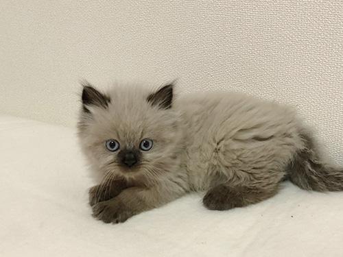 ヒマラヤンの子猫 ブリーダー 子犬専門 AngelWan 横浜