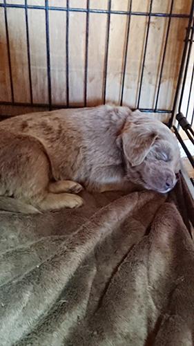 ワイマラナーの子犬 ブリーダー 子犬専門 AngelWan 横浜