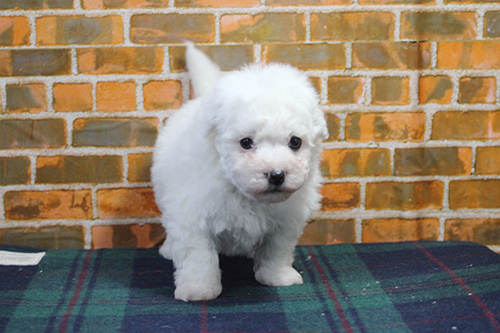 ビションフリーゼの子犬 ブリーダー 子犬専門 AngelWan 横浜