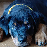 ロットワイラーの子犬 子犬専門AngelWan 横浜