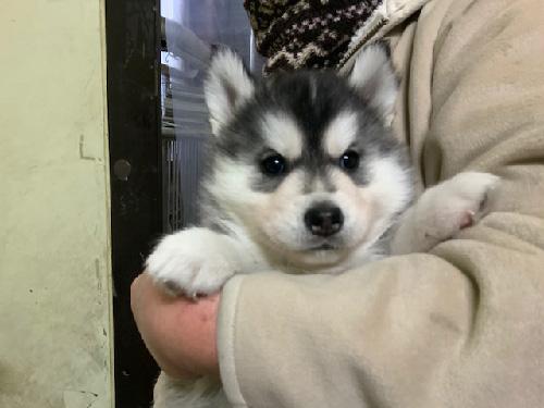 シベリアンハスキーの子犬 子犬専門 AngelWan 横浜