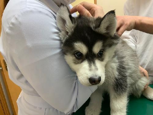 シベリアンハスキーの子犬 子犬専門AngelWan 横浜